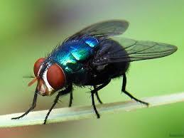 dedetização de mosca